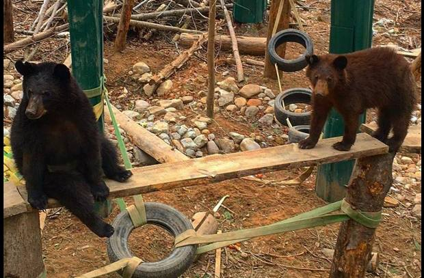 Meet our black bears, Luvey and Ahote, learn all about bears!