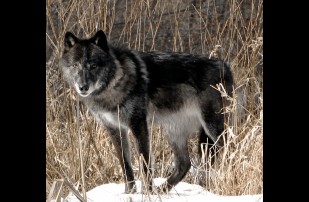 Zeebie, gray wolf at the Adirondack Wildlife Refuge